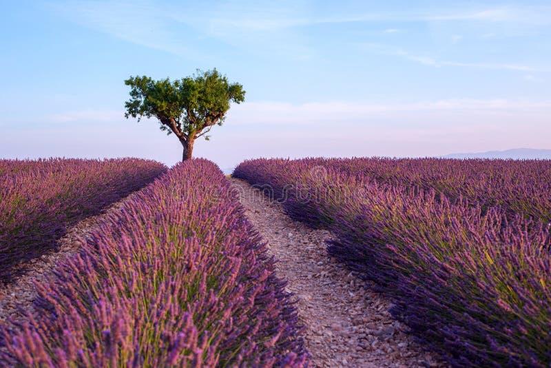 Het landschap van de de zomerzonsondergang van het lavendelgebied met enige boom dichtbij Val royalty-vrije stock foto