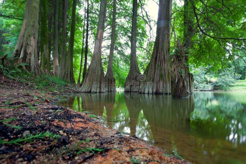 Het landschap van de distichumCeder van Taxodium royalty-vrije stock foto