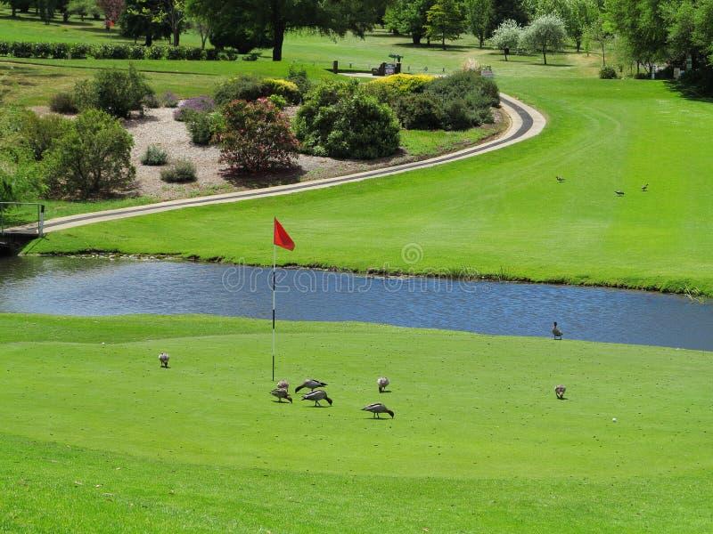 Het landschap van de golfcursus met eenden stock foto