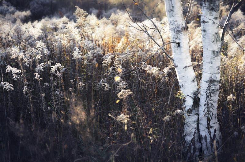 Het landschap van het de herfstplatteland met lange zegge en berkboom stock foto's