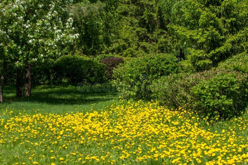 Het landschap van de lente met bloemen Een bloem van een paardebloem Gele D stock foto's