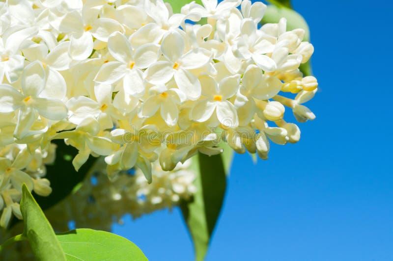 Het landschap van de de lentebloem - witte lilac bloemen op de achtergrond van de blauwe hemel stock foto