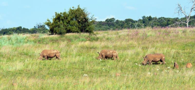Het landschap van de rinoceros. royalty-vrije stock afbeeldingen