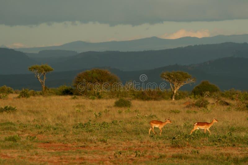 Het landschap van de savanne met impala royalty-vrije stock foto's