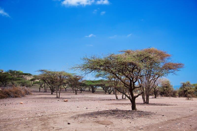 Het landschap van de savanne in Tanzania, Afrika stock afbeeldingen
