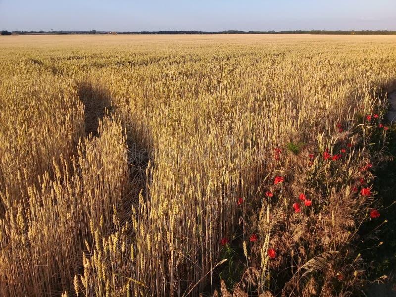 Het Landschap van de Wheatfieldzomer met Poppy Flowers royalty-vrije stock afbeelding