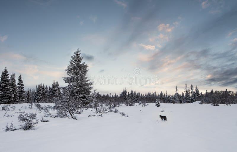 Het Landschap van de winter met Coyote stock afbeeldingen