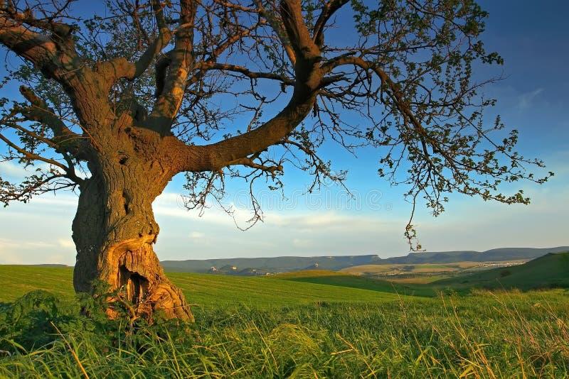 Het landschap van de zomer met een oude boom stock foto's