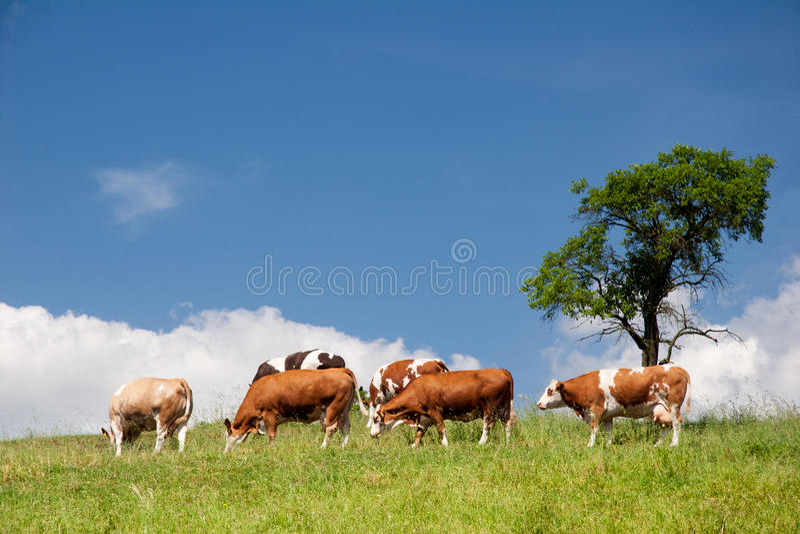 Het Landschap Van De Zomer Met Koeien Royalty-vrije Stock Fotografie
