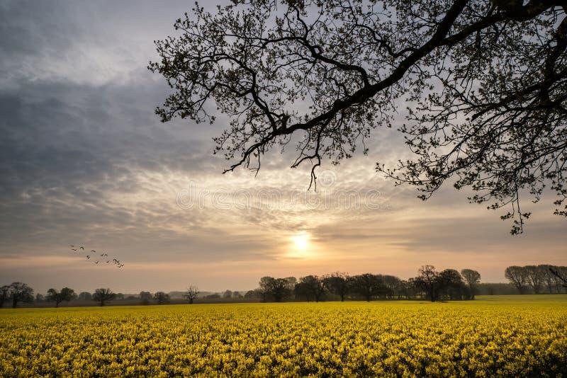 Het landschap van de zonsopgangdageraad over het gebied van raapzaadcanola stock foto