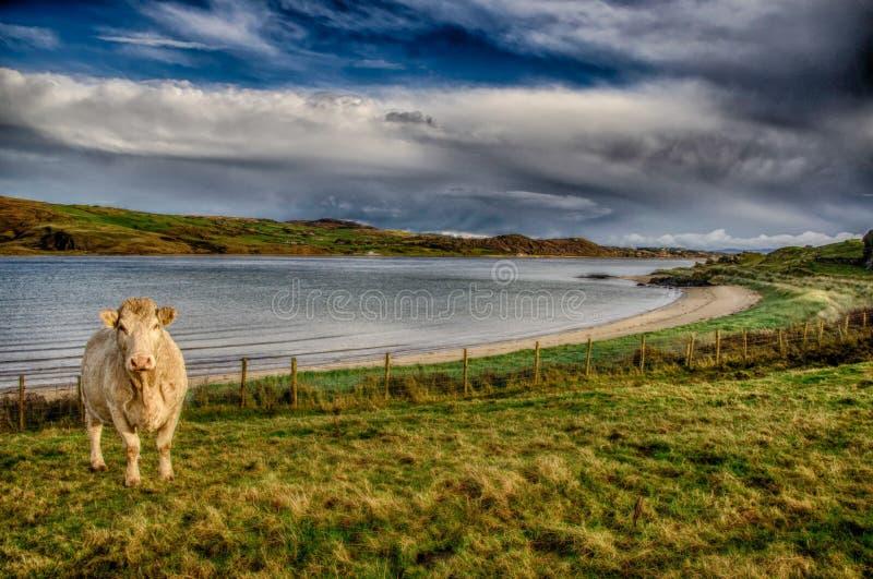 Het landschap van Donegal met koe stock foto's