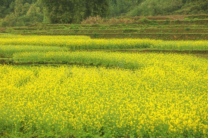 Het landschap van het Canolagebied stock foto's