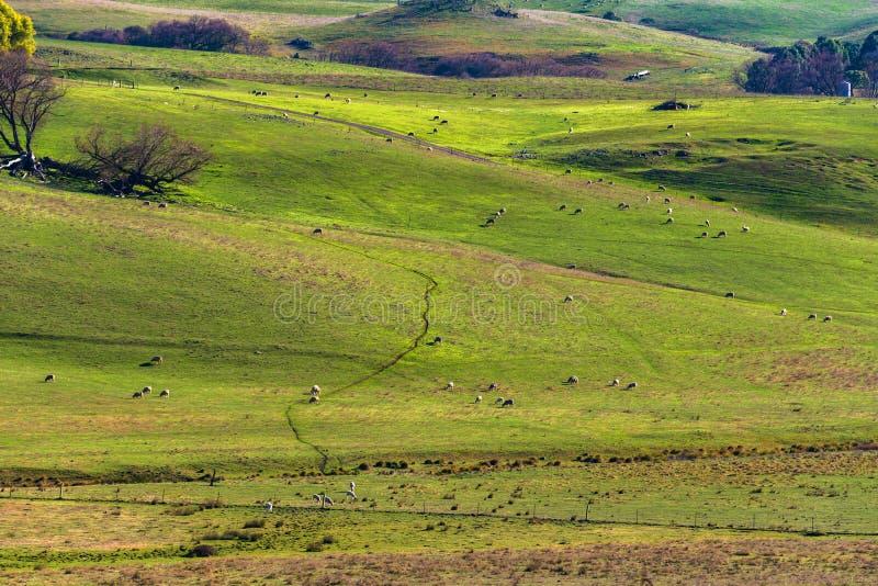 Het landschap van het landbouwbinnenland met landbouwbedrijfdieren die op paddo weiden royalty-vrije stock afbeelding