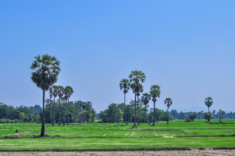 Het landschap van het padiegebied met suikerpalm stock afbeelding
