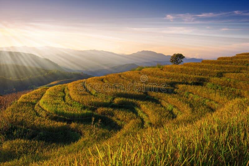 Het landschap van het rijstlandbouwbedrijf op zon glanst dag stock foto's