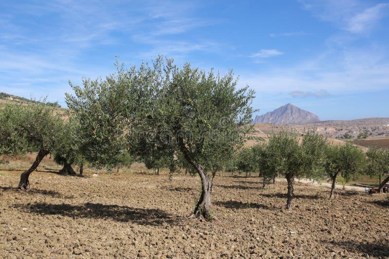 Het landschap van Sicilië, Italië met olijfbomen stock afbeeldingen