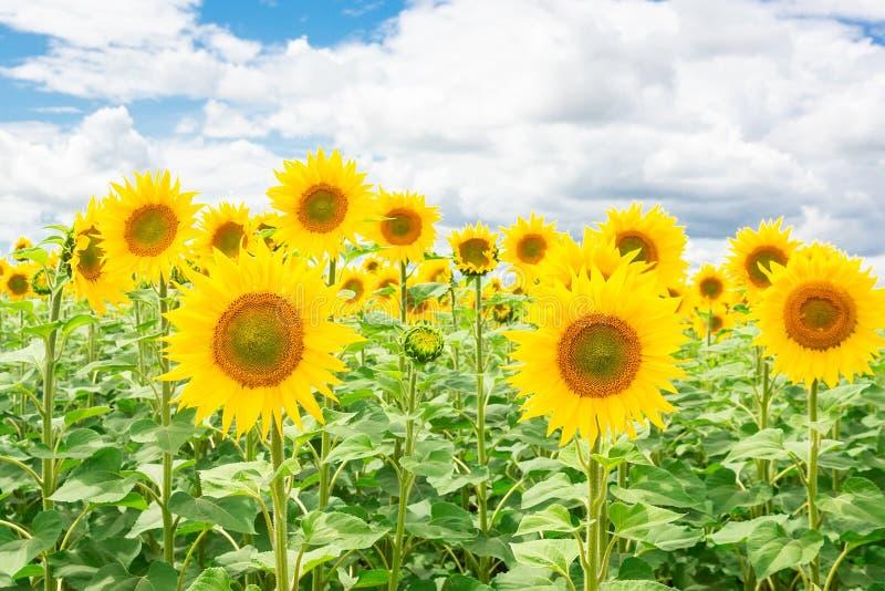 Het landschap van het zonnebloemgebied royalty-vrije stock afbeelding