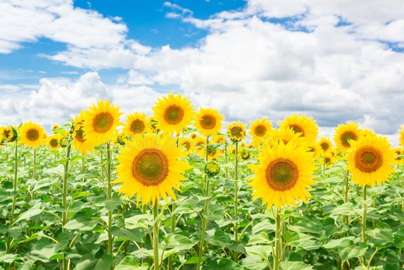 Het landschap van het zonnebloemgebied stock fotografie