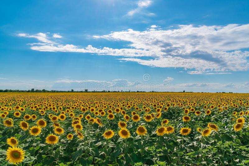 Het landschap van het zonnebloemgebied De zonnebloemen sluiten onder regenachtige wolken stock afbeelding