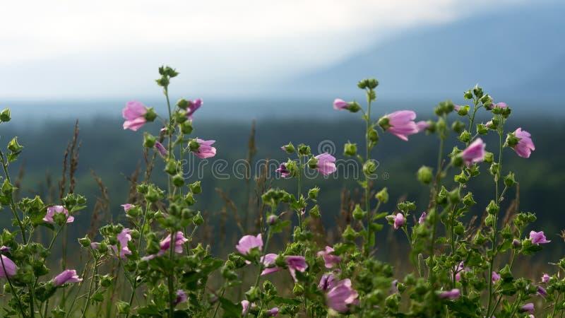Het landschapsconcept van de de zomerweide: roze bloemen tegen de vage bergachtergrond stock foto