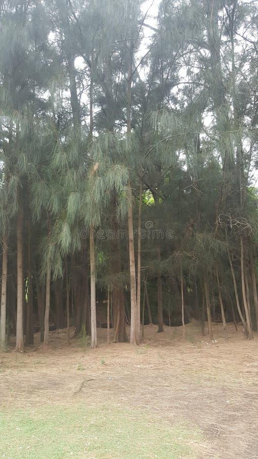Het lange Bos van de Boom stock afbeelding