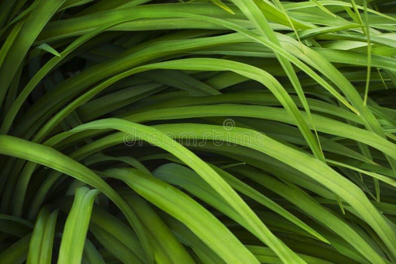 Het lange geelgroene close-up van de graszegge stock afbeeldingen
