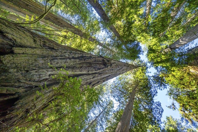 Het lange Nationale Park Crescent City California van Bomen Torenhoge Californische sequoia's stock afbeeldingen