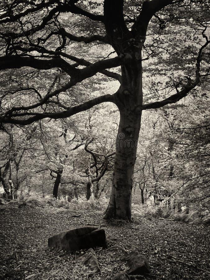 Het lange oude beukboom groeien in een bosopheldering met donkere boomstam en takken in silhouet en keien ter plaatse royalty-vrije stock afbeelding