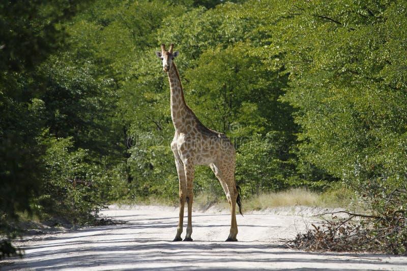 Het Langste Zoogdier van werelden; Giraf met een netvormig patroon royalty-vrije stock afbeeldingen