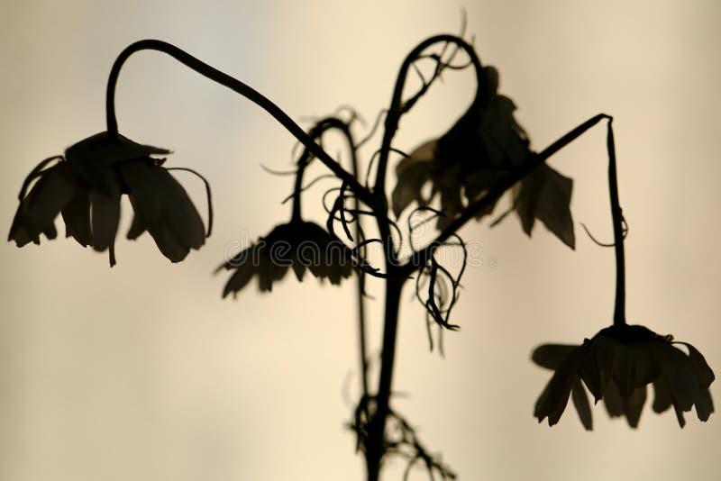 Het langzaam verdwenen silhouet van madeliefjebloemen stock foto