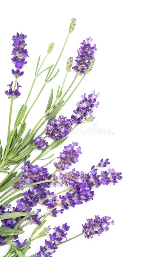 Het lavendelkruid bloeit witte Bloemengrens als achtergrond stock foto's