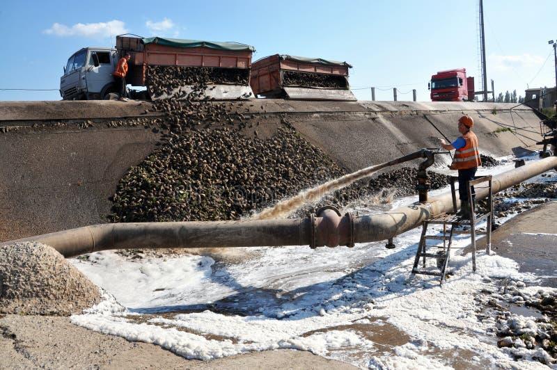 Het leegmaken van suikerbieten stock fotografie
