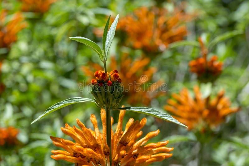 Het Leeuw` s Oor bloeit: Vreemd Fuzzy Orange Fingers royalty-vrije stock foto's