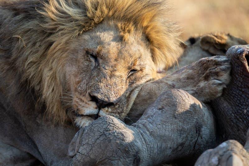 Het leeuwmannetje met een reusachtige manenrust op heeft karkas het gegeten stock foto's