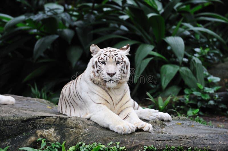 Het leggen van de tijger royalty-vrije stock afbeeldingen