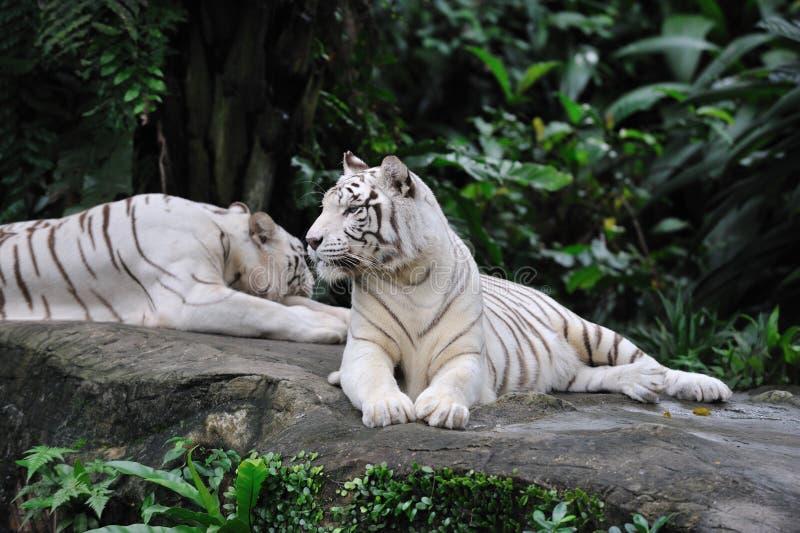 Het leggen van de tijger stock afbeeldingen