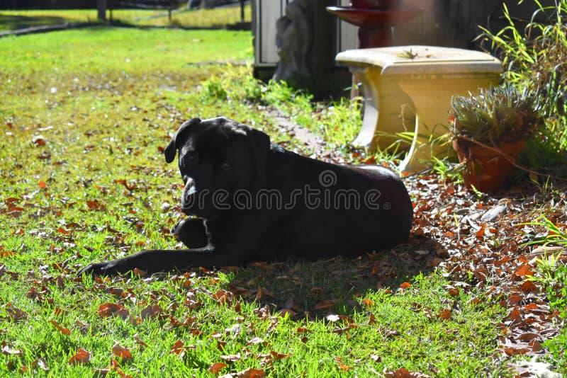 Het leggen van Labrador x royalty-vrije stock foto