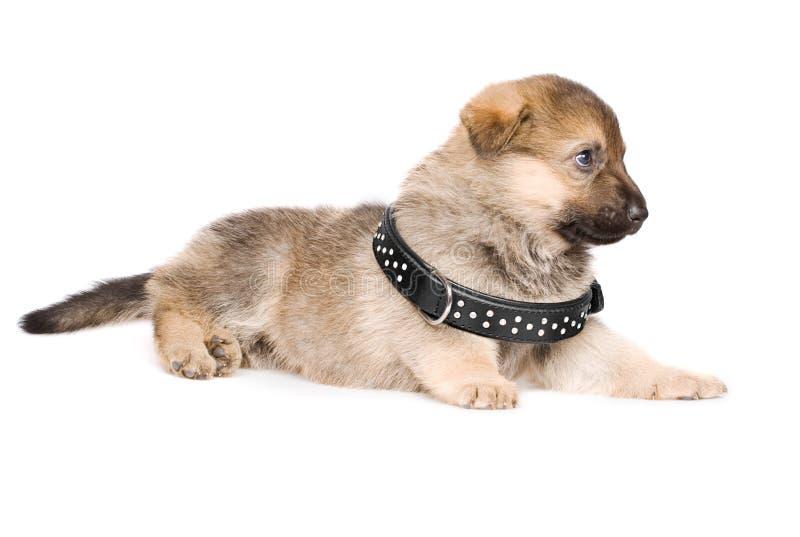 Het leggen van puppy met zwarte kraag stock afbeeldingen