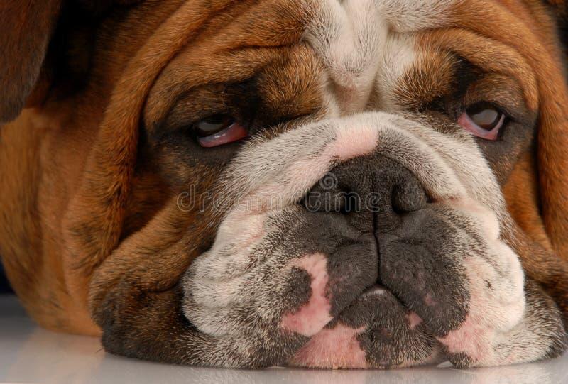 Het lelijke kijken hond royalty-vrije stock foto's