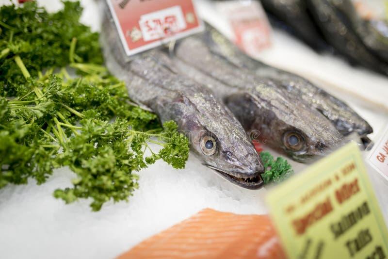 Het lelijke kijken Verse Stokvissenvissen met scherpe tanden op ijs met parsle stock fotografie