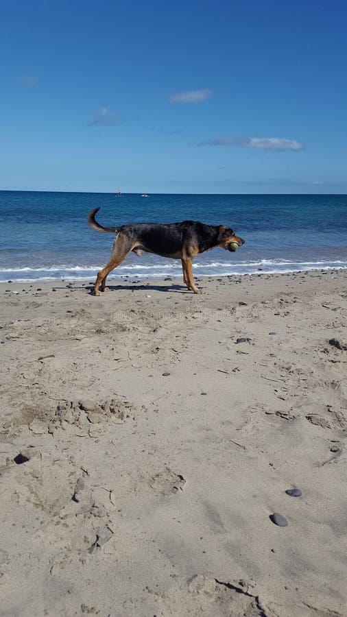 het letten op hond bij het strand stock foto's