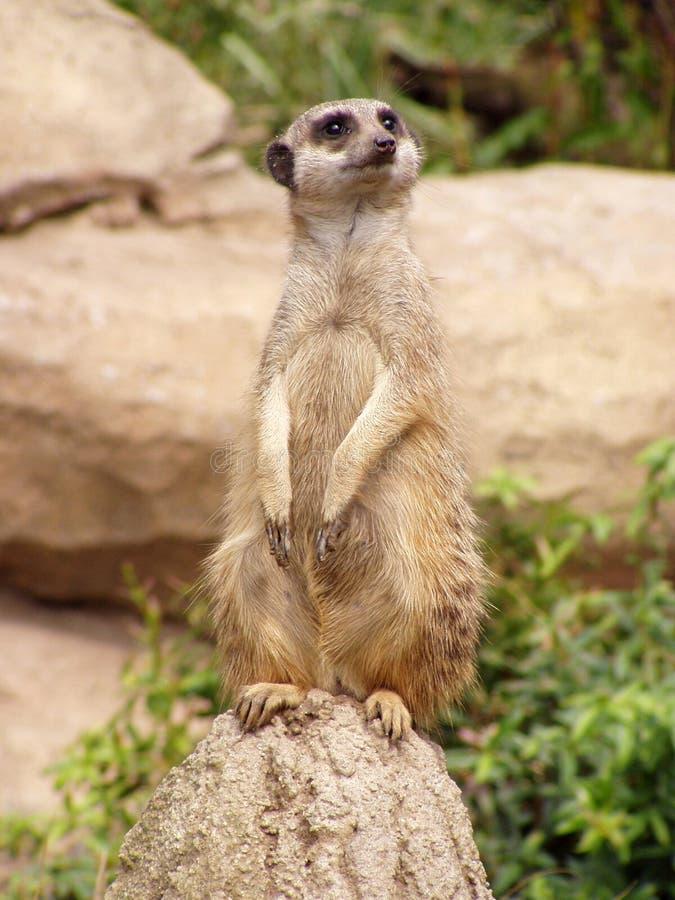 Het letten op meerkat royalty-vrije stock afbeelding