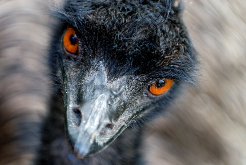Het letten op van de emoe stock afbeeldingen
