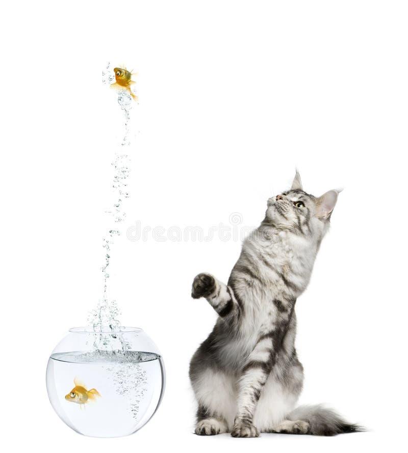 Het letten op van de kat goudvis die uit goudviskom springt royalty-vrije stock fotografie