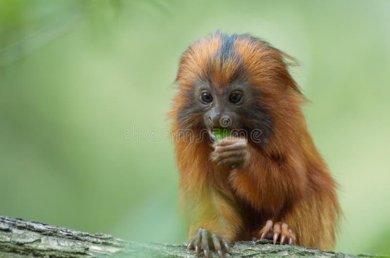 Het leuke aap eten royalty-vrije stock foto's