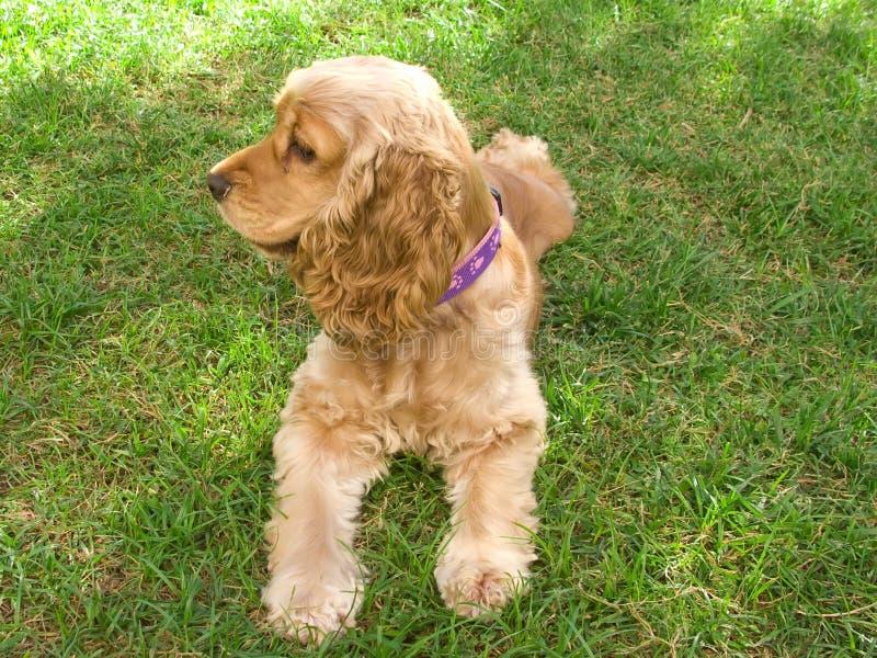 Het leuke Amerikaanse puppy van de Cocker-spaniël royalty-vrije stock fotografie