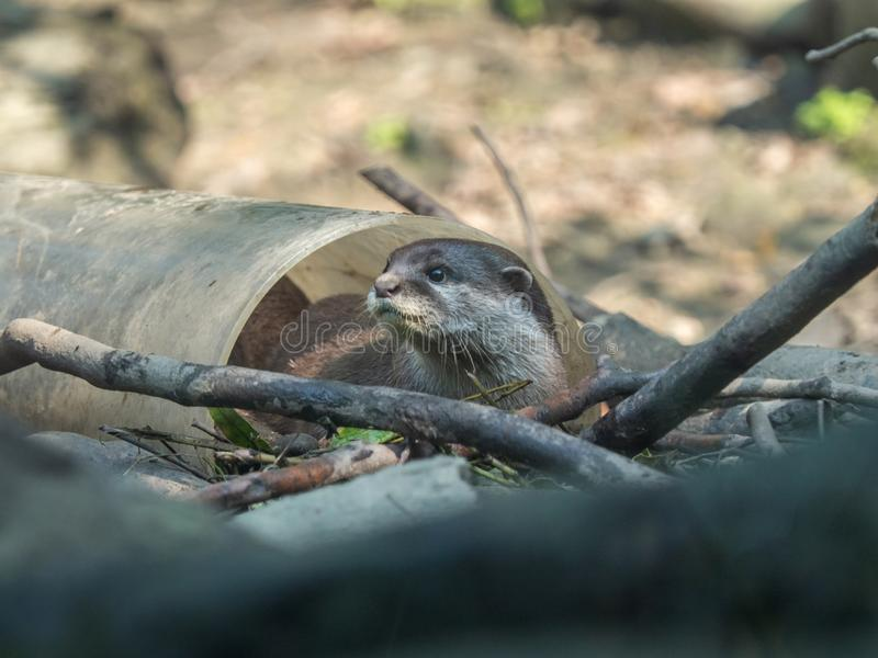 Het leuke Aziatische klein-gekrabde cinerea spelen van ottersamblonyx in witte plastic pijp royalty-vrije stock fotografie