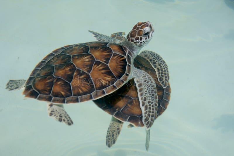 Het leuke babyzeeschildpad zwemmen royalty-vrije stock foto's