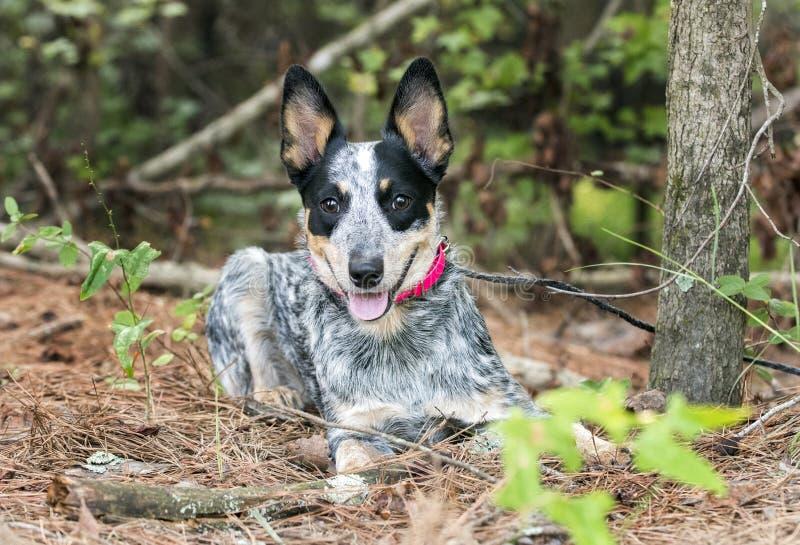 Het leuke Blauwe Heeler puppy van Queensland buiten op leiband stock afbeeldingen