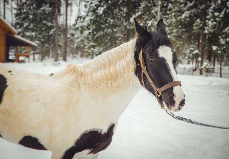 Het leuke Bruine Paard loopt door sneeuw royalty-vrije stock fotografie